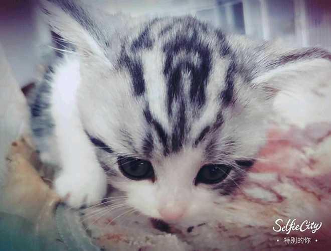 美国短毛猫 - 价格1000 - 山东 青岛 - 宠物市场